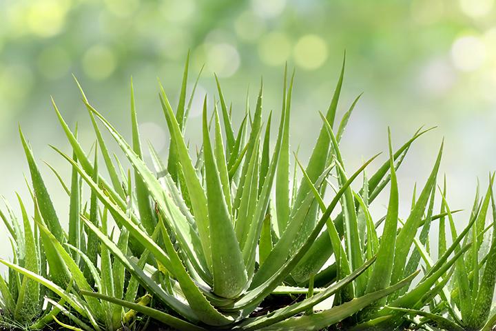 Aloe indio